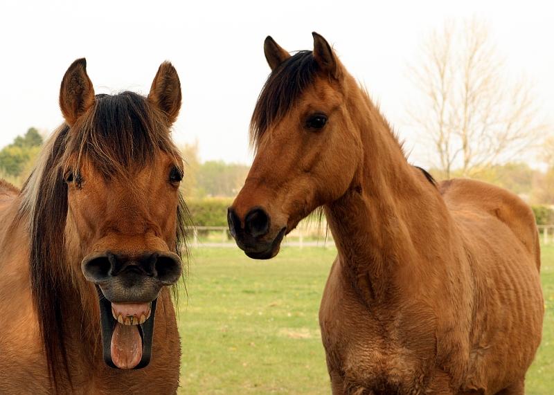 chevaux de la Baie de Somme 300804